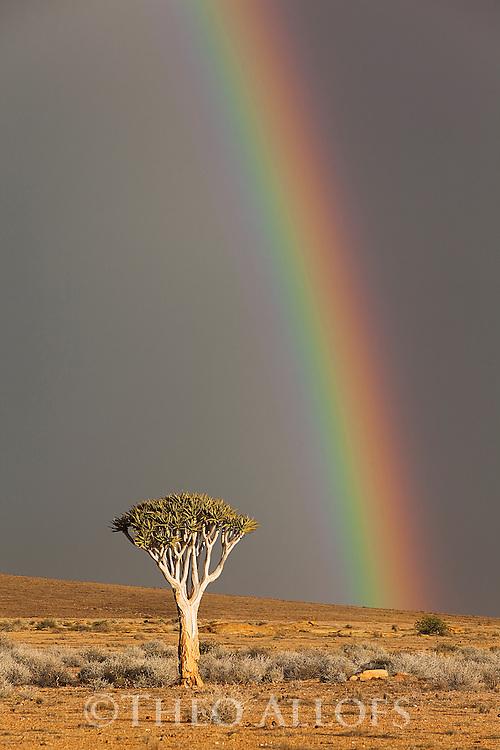 Namibia, Namib Desert, quiver tree (Aloe dichotoma) under dark sky with rainbow