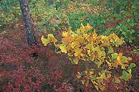 Blackjack Oak; Quercus marylandica; and huckleberry;Gaylussacia; Pine Barrens, NJ