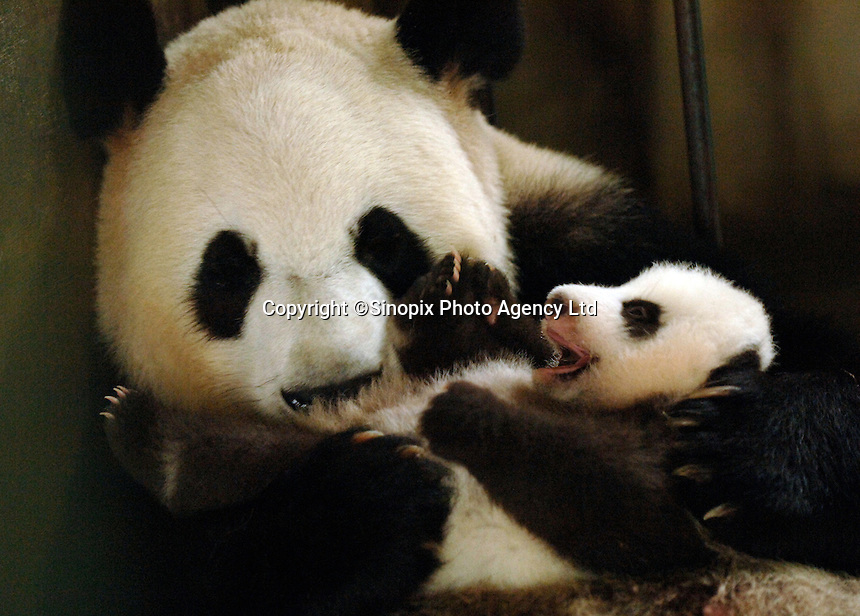 Super breeder Ya Ya and her cub Xiao Ya, born 19th August 2006 at the panda nursery facility at the Chengdu Giant Panda and Research Base in Chengdu, China.  Ya Ya is currently the number one breeding mother and has had a total of eleven cubs.  An unprecedented 26 panda cubs were born in China in 2006, the advances are put down to scientific breeding practice and changes in the diet.