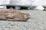 A Weddell Seal on Danco Island, Antarctica