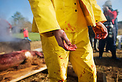 """The hands of Sam Hummel, a young Piedmont farmer who describes himself as being """"95 percent vegetarian with a weakness for baby back ribs,"""" after carrying the body of a hog from the pen where it was killed. """"Everyone should have the experience of killing and processing something they use,"""" said Hummel. """"Even if it's chopping down a tree if your building a house.""""."""