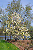 Magnolia 'Yellow Fever' in garden use landscape, lawn grass, water pond, mulched border, blue sky in spring flower