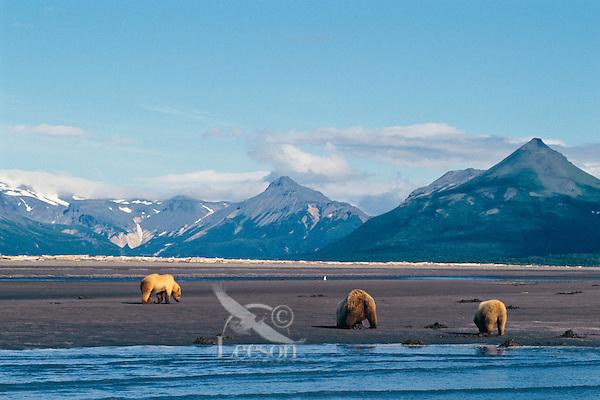 Three grizzly bears dig for razor clams on beach along Shelikof Strait, Katmai National Park, Alaska.  Summer.