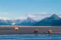 Three grizzly bears dig for razor clams on beach along Shelikof Strait, Katmai National Park, Alaska.  Summer.