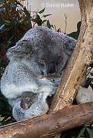 0802-1015  Koala with Young, 6 month old Joey that Just Emerged from Pouch within One Day, Phascolarctos cinereus © David Kuhn/Dwight Kuhn Photography
