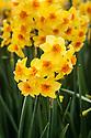 Narcissus 'Falconet', mid April. A scented Tazetta daffodil, golden yellow wth a small, bright orange cup.