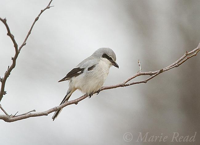 Northern Shrike (Lanius excubitor), winter, New York, USA