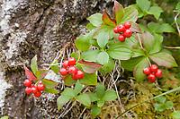 Bunch berry, Prince William Sound, Alaska.