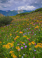 San Juan Mountains, CO<br /> Detaill of yellow flowering sneezeweed (Dugaldia hoopesii) and alpine wildflowers near Stony Pass