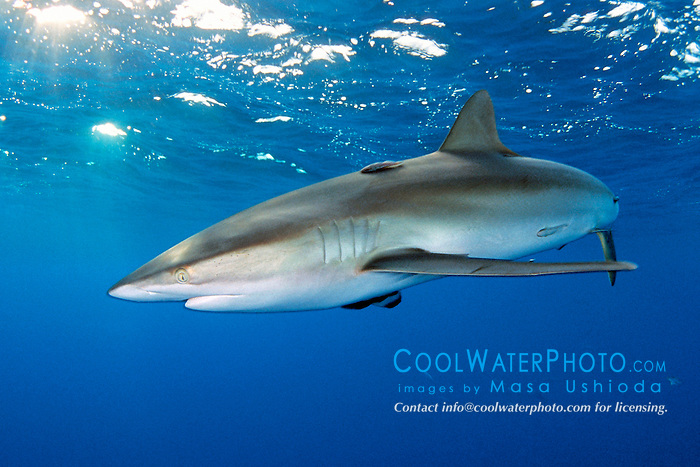 silky shark with remoras, .Carcharhinus falciformis, .Hawaii (Pacific)