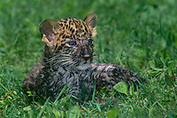 654303013 a captive blue-eyed african leopard cub panthera pardus lays in tall grass - species is native to sub-saharan africa and is an endangered species