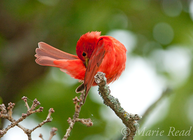 Summer Tanager (Piranga rubra) male preening, Wichita Mountains National Wildlife Refuge, Oklahoma, USA