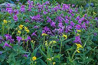Wildflowers, Logan Pass