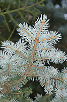 Blue Colorado Spruce Picea pungens (Pinaceae) HEIGHT to 30m Slender conical evergreen. BARK Purplish and ridged. BRANCHES Bear smooth, yellowish-brown twigs. LEAVES Sharply pointed, stiff needles, to 3cm long, and usually dark green, grow all round shoot, but upper surface has more and some curve upwards to make top surface look more dense. REPRODUCTIVE PARTS Male and female flowers in small, separate clusters on same tree; males red-tinged, females greener. Mature female cones pendent, narrowly oval, to 12cm long, often slightly curved; scales have irregularly toothed tips. STATUS AND DISTRIBUTION A native of the south-western USA, growing on dry, stony mountain slopes and streamsides, but commonly planted for ornament and timber throughout much of N Europe.