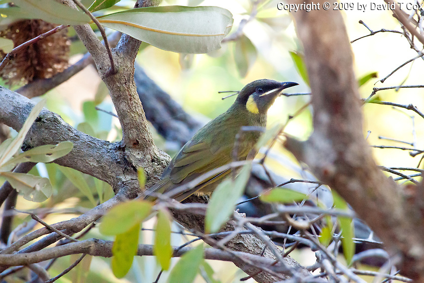 Lewin's Honeyeater, 1770 ocean trail, Queensland, Australia