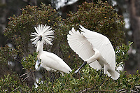BOO!  Royal Spoonbills