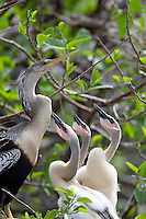 Anhinga (Anhinga anhinga leucogaster), female in breeding plumage with her downy chicks in a nest at the Wakodahatchee Wetlands in Delray Beach, Florida.