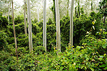Gum Tree (Eucalyptus sp) forest, Murramarang National Park, New South Wales, Australia