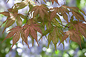 Pink-tinged spring foliage of Acer palmatum 'Corallinum', late April.