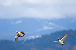 Canada Geese (branta canadensis) in flight over Kootenai National Wildlife Refuge near Bonners Ferry, Idaho during early spring migration