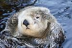 California sea otter, Enhydra lutris, Monterey, CA. USA.