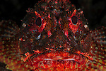 A colourful Scorpion Fish (Scorpaena cardinals) taken at Raoul Island, Kermadecs.