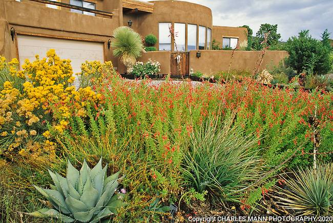 A water wise landscape in Albuquerque, New Mexico, features colorful red Zauschneria and yellow chamisa along with  southwestern standards like  Hesperaloe, Yucca and Agave.