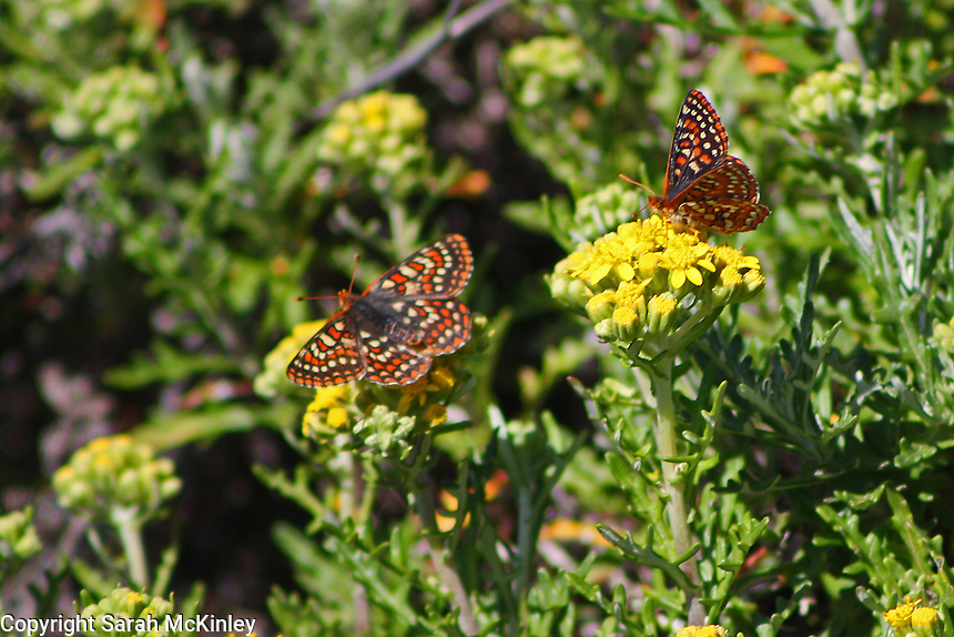 A pair of checkerspot butterflies, one with wings opened the other with its wings closing, sit on yellow flowers.