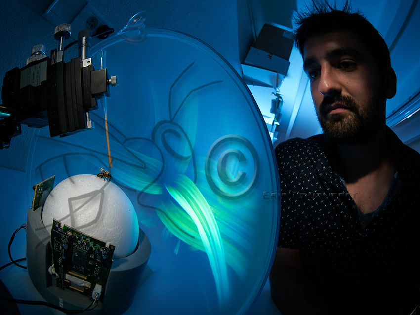 Alexis Buatois observes a new virtual system of visual learning for the bees. The bees are suspended in the locomotion compensator conceived for the analysis of their visual orientation. The bee, immobilized by the thorax, is placed on a hollow sphere of which the movements, induced by the walking of the bee, are recorded by optical sensors that allow for the reconstruction of the bee's trajectory. The bee walking on the compensator is exposed to visual stimuli present inside a cylindrical arena. The CRCA has shown that the cognitive capacities of recognition of visual forms by domestic bees are similar to those of humans and primates. This work was published in the revue Nature 2004.<br /> CNRS. Universit&eacute; Paul Sabatier. Toulouse. Alexis Buatois observe un nouveau syst&egrave;me d&rsquo;apprentissage visuel virtuel pour les abeilles. Les abeilles suspendues dans un compensateur de locomotion con&ccedil;u pour l&rsquo;analyse de leur orientation visuelle. L&rsquo;abeille immobilis&eacute;e par le thorax est plac&eacute;e sur une sph&egrave;re creuse dont les mouvements, induits par la marche de l&rsquo;abeille, sont enregistr&eacute;s par des capteurs optiques qui permettent de reconstituer la trajectoire de marche. L&rsquo;abeille marchant sur le compensateur sera expos&eacute;e &agrave; des stimuli visuels pr&eacute;sent&eacute;s &agrave; l&rsquo;int&eacute;rieur d&rsquo;une ar&egrave;ne cylindrique. Le CRCA a montr&eacute; que les capacit&eacute;s cognitives de reconnaissance des formes visuelles des abeilles domestiques sont similaires &agrave; celles des hommes et des primates. Ces travaux publi&eacute;s dans la revue Nature 2004.