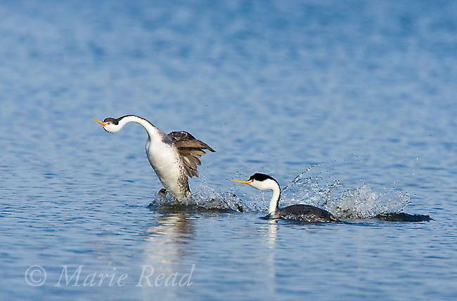 "Clark's Grebes (Aechmophorus clarkii), aborted ""rushing"" display, California, USA"