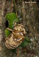 0901-0819  Dog-day Cicada Molted Skin, Tibicen spp.  © David Kuhn/Dwight Kuhn Photography.