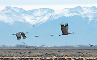 March 11, 2016 - Monte Vista, Colorado, U.S. - Sandhill Cranes in flight against the backdrop of the Sangre de Cristo mountains in southern Colorado's Monte Vista National Wildlife Refuge.<br /> <br /> Each year more than 20,000 Sandhill Cranes migrate through the wetlands of the San Luis Valley's Monte Vista National Wildlife Refuge, Monte Vista, Colorado.  The Rocky Mountain population of the Greater Sand Hill Cranes spends more time in the San Luis Valley than at either of their wintering or breeding grounds.  The peak springtime migration is mid-March.