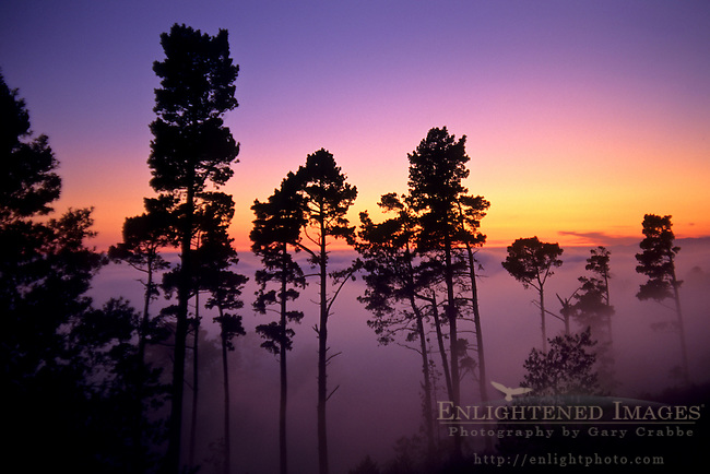 Trees and fog at sunset from the Berkeley Hills, CALIFORNIA