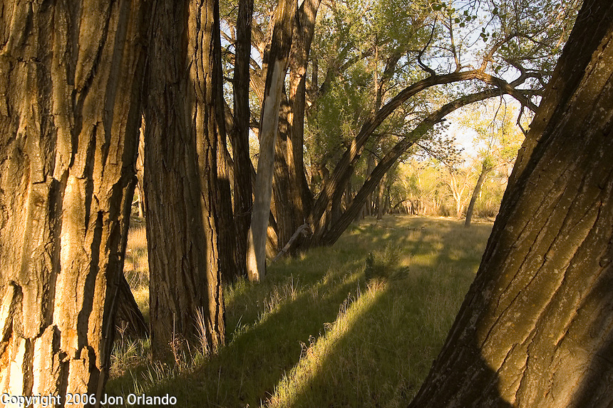 Cottonwood trees near a campsite on Horsethief Canyon on the Colorado River in western Colorado.
