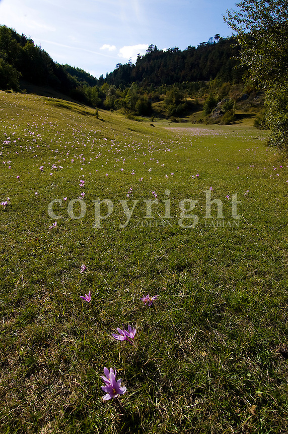 Flowers in the Durmitor National Park near to Zabljak, Montenegro, Europe. Durmitor is a national park since 1952, protected by UNESCO since 1977, and World Heritage Site since 1980