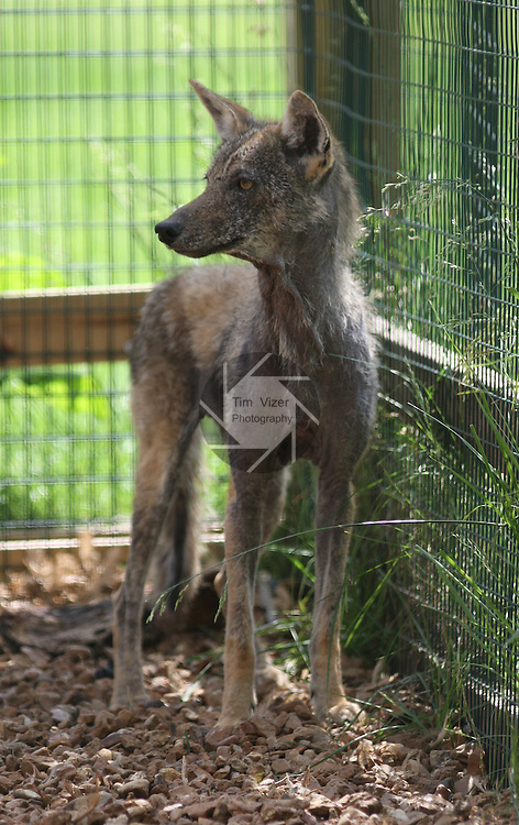 This coyote has a problem with it's fur, and keeps shedding.  It's one of the wild animals being care for at the TreeHouse Wildlife Center.