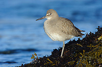 Willet (Catoptrophorus semipalmatus) roositng on coastal rocks. Monterey County, California. November.