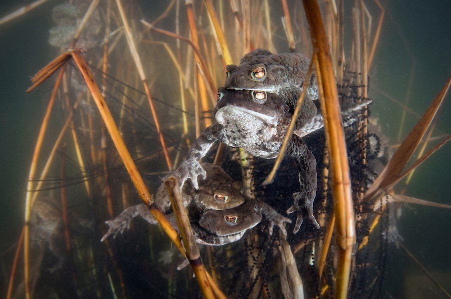 Common toad (Bufo bufo), Billebj&auml;r, Sk&aring;ne, Sweden<br /> Even the smallest water movement like me moving the underwater housing has to be checked out by the eager male Bufo bufo in mating mode for 4-5 days in the spring. This one a bit confused looking into the dome port seeing himself as a rival looking for females.<br /> The common toad (Bufo bufo) or European toad is an amphibian widespread throughout Europe, with the exception of Iceland, Ireland and some Mediterranean islands. Its easterly range extends to Irkutsk in Siberia and its southerly range includes parts of northwestern Africa in the northern mountains of Morocco, Algeria, and Tunisia.