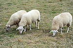 Three Sheep Grazing in a Pasture in Londonderry, Vermont USA