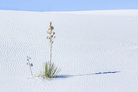Lone yucca plant in the ripples of sand at White Sands National Monument in New Mexico.