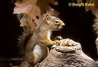 MA07-055z  Red Squirrel - making noise by acorns in tree cavity - Tamiasciurus hudsonicus