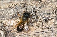 Rote Mauerbiene, Rostrote Mauerbiene, Mauerbiene, Mauer-Biene, Weibchen, Osmia bicornis, Osmia rufa, red mason bee, mason bee, female, L'osmie rousse, Mauerbienen, mason bees