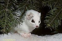 MA06-031x  Short-Tailed Weasel - exploring forest  for prey in winter - Mustela erminea