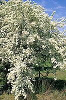 Eingriffliger Weißdorn, Weissdorn, Crataegus monogyna, English Hawthorn, May