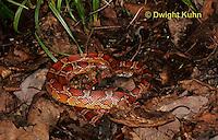 1R22-544z  Corn Snake, Banded Corn Snake, Elaphe guttata guttata or Pantherophis guttata guttata