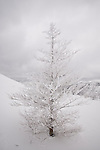 A snow covered pine tree under a cloudy sky in the Chic Choc Mountains of the Gaspe, Quebec, Canada.