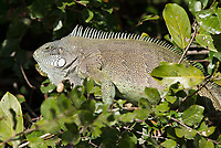 Green iguanas are found both on land and in trees and bushes, where they blend in well with the foliage.