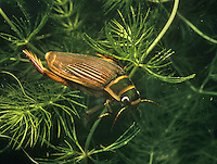 Great Diving Beetle - female - Dytiscus marginalis