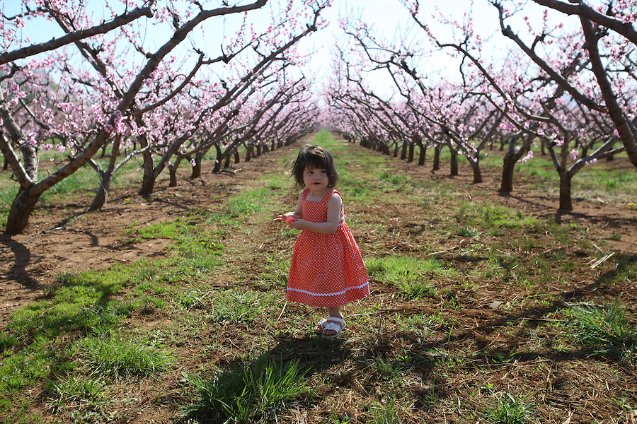 little girl in Chiles peach orchard.