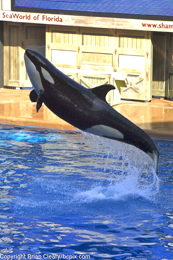 A Killer Whale at Seaworld, Florida  jumps from the water during a show in this file photo from December 26, 2001.  (Photo by Brian Cleary/www.bcpix.com)